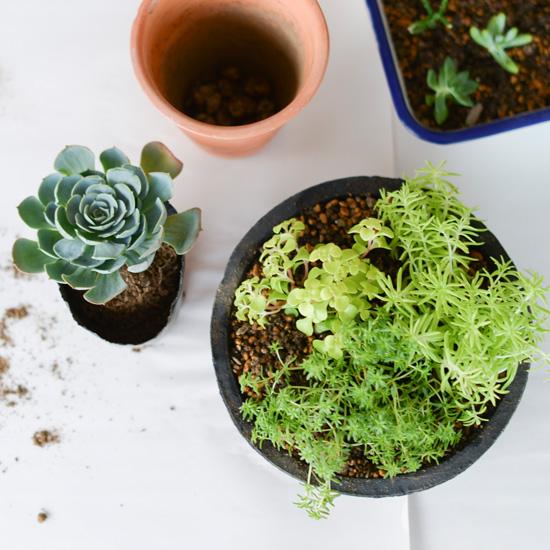 【特集 多肉とくらす】第二話:多肉植物の鉢選びと植え方のコツ。