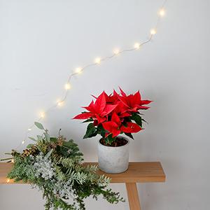 【ハンドメイドの花飾り】第7話:定番のポインセチア。どうしたらオシャレに飾れる?