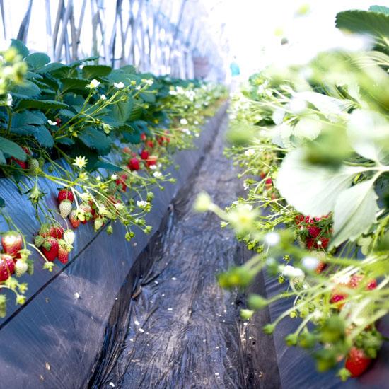 【スタッフコラム】はじめてのイチゴ畑。しゃがんだ先に見えたもの