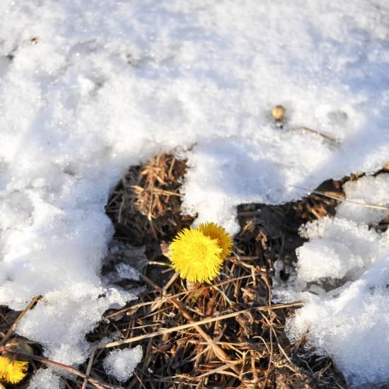 【ノルウェー日記】ひと足も、ふた足も遅れて、ようやく春がやってきました。