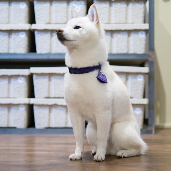 【うちのイヌ、うちのネコ】チャーミングな表情がたまらない!マイペースで気分屋の柴犬PECO