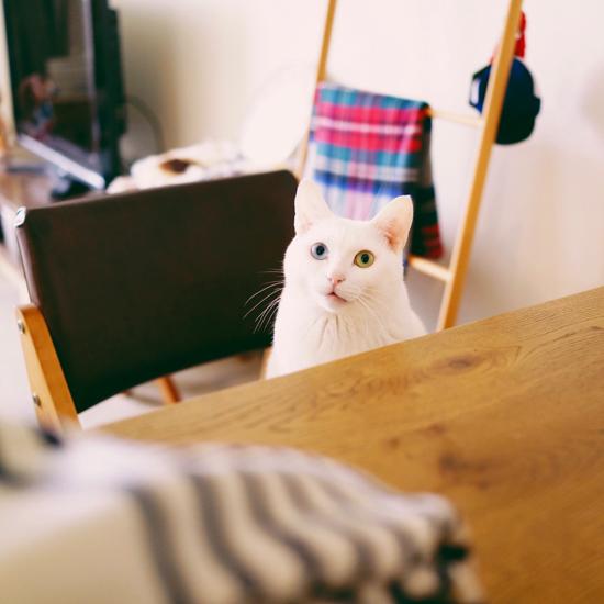 【うちのイヌ、うちのネコ】猫だけどおしゃべり上手。オッドアイの白猫アイビー